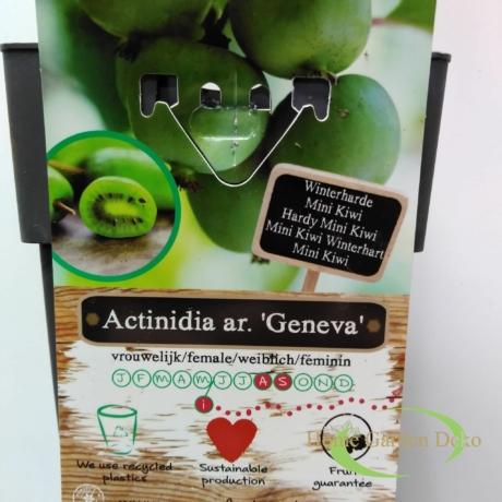 Actinidia arguta Geneva ♀