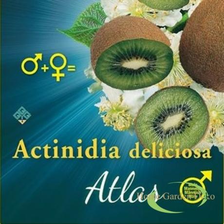 Actinidia deliciosa Atlas porzós kivi ♂