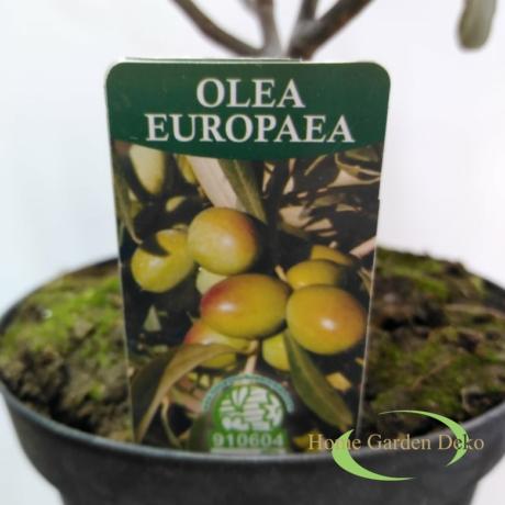 Olea europaea / Olajfa