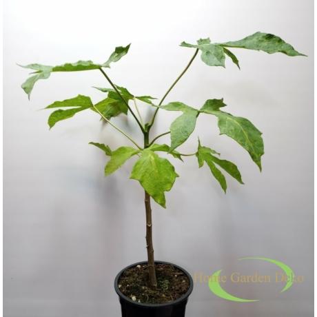 Papaya (Carica x pentagona)