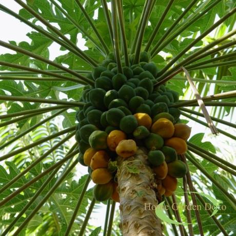 Carica x pentagona / Babaco papaya