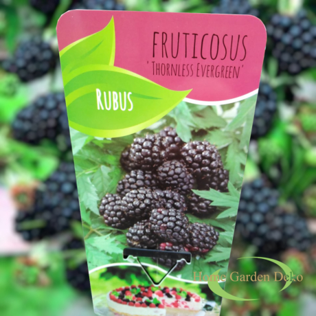 Rubus fruticosus Thornless Evergreen