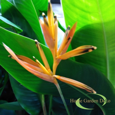 Heliconia curacao