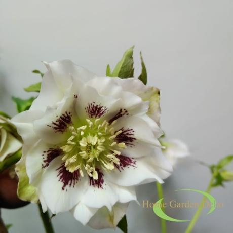 Helleborus fehér