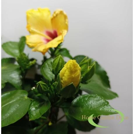 Hibiscus Sárga