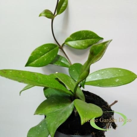 Hoya Carnosa Red Flower