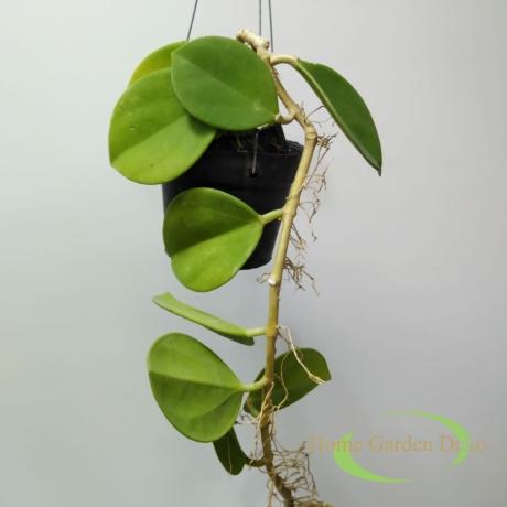 Hoya Pachyclada white