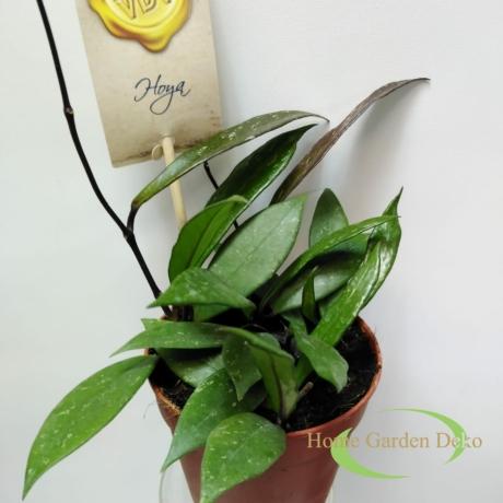 Hoya pubicalyx
