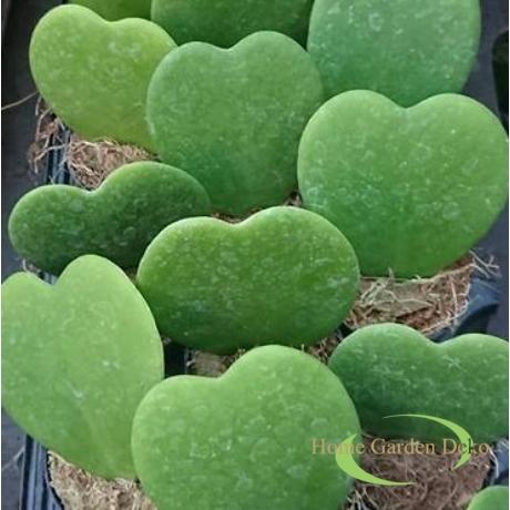 Hoya kerrii zöld / Szívlevelű viaszvirág