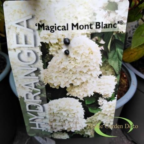 Hydrangea paniculata magical Mont Blanc