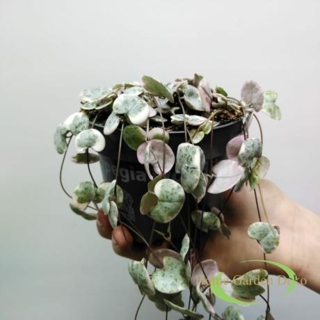 Ceropegia woodii variegata