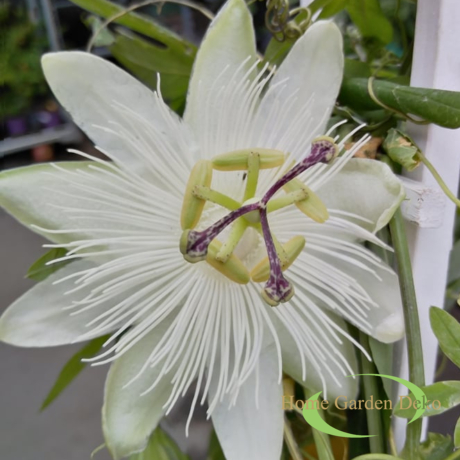 Passiflora Snow Queen