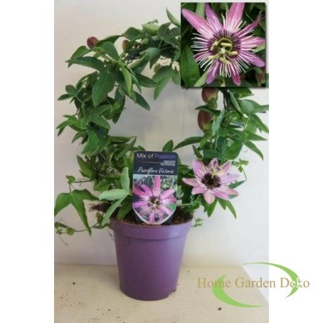 Passiflora x violacea Victoria