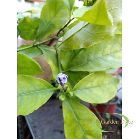 Schisandra chinensis Kínai kúszó magnolia