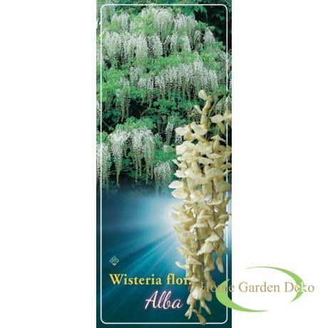 Wisteria sinensis Alba