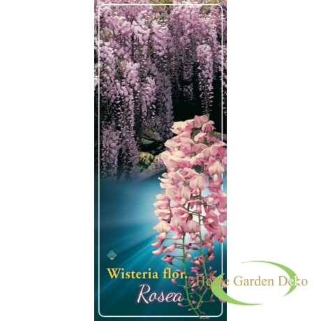 Wisteria sinensis Rosea