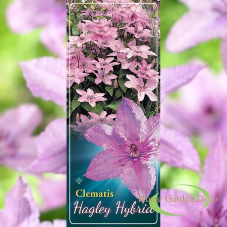 Clematis jackmanii Hagley Hybrid