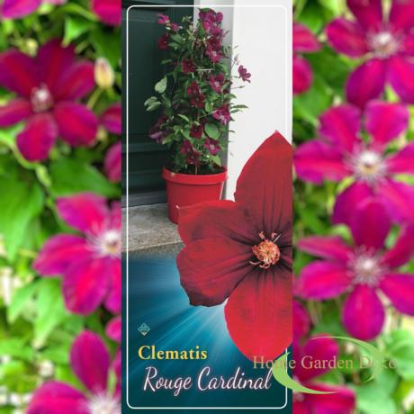 Clematis jackmanii Rouge Cardinal