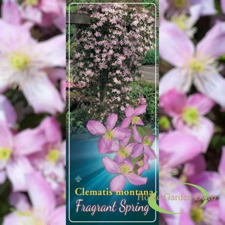 Clematis montana Fragrant Spring / Rózsaszín hegyi Iszalag