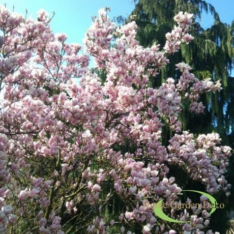 Magnolia George Henry Kern