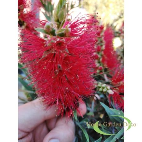 Callistemon citrinus / Citromillatú kefevirág