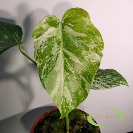 Monstera deliciosa variegata (15)