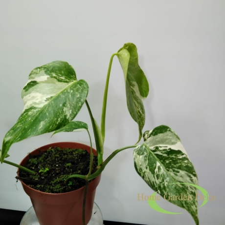 Monstera deliciosa variegata (14)