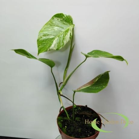 Monstera deliciosa variegata (03)