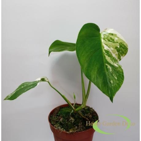 Monstera deliciosa variegata (11)