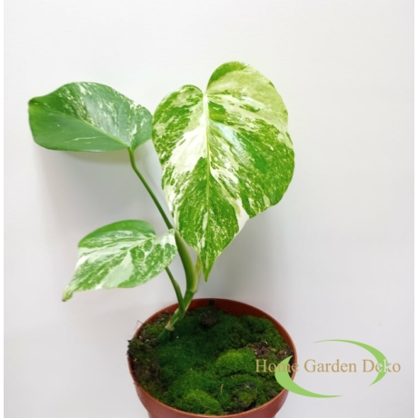 Monstera deliciosa variegata (18)