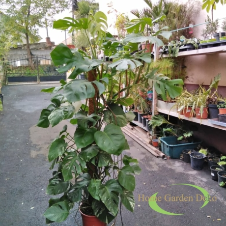 Monstera deliciosa variegata (502)