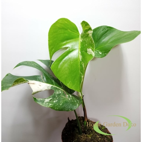 Monstera deliciosa variegata (06)