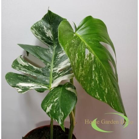 Monstera deliciosa variegata (08)