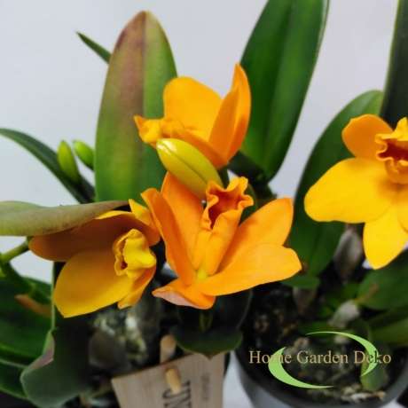 Cattleya Golden Boy