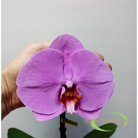 Phalaenopsis singolo lila
