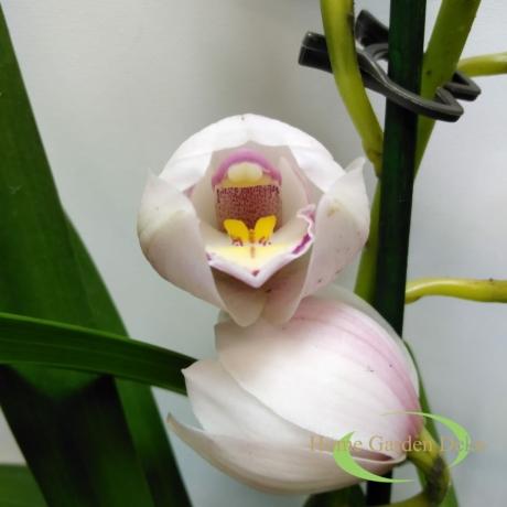 Cymbidium halvány rózsaszín 1 virágszálas