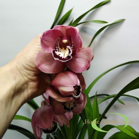 Cymbidium mályva 1 virágszálas