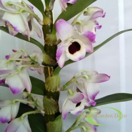 Dendrobium lila-fehér