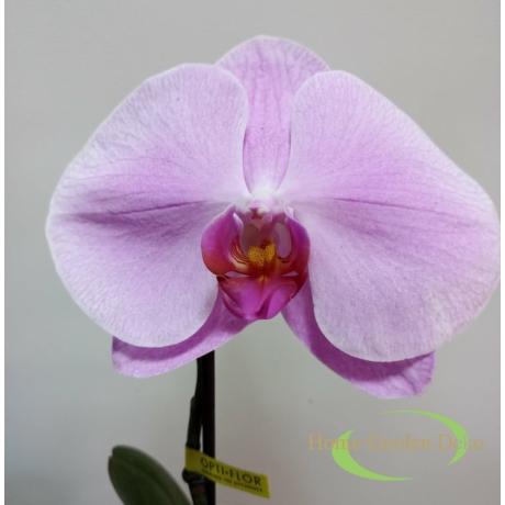 Phalaenopsis singolo rózsaszín