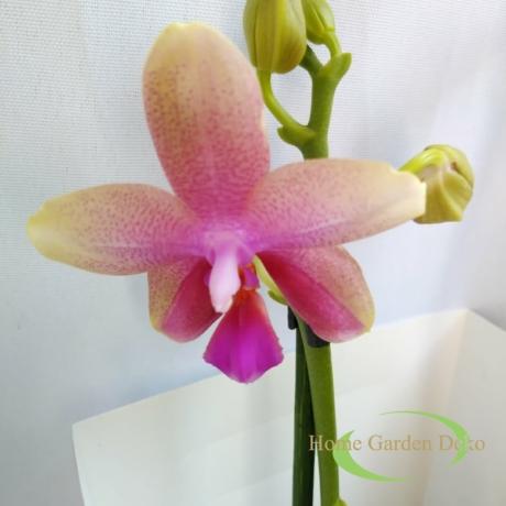 Phalaonepsis Liodoro illatos orchidea