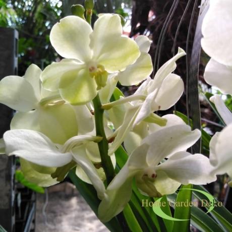 Vanda orchidea fehér