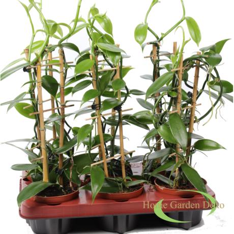 Vanilla planifolia /orchidea/