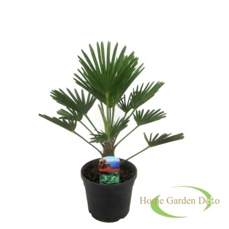 Trachycarpus wagnerianus / Japán kenderpálma