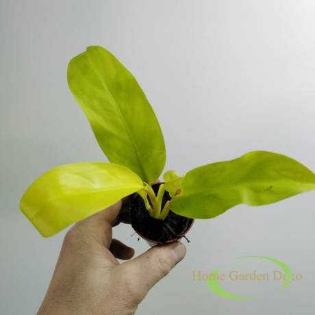 Philodendron Malay Gold