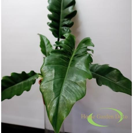 Philodendron Narrow Escape