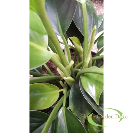 Philodendron Onyx