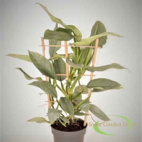 Philodendron Hastatum Silver Sword
