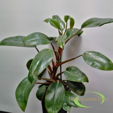 Philodendron red onyx