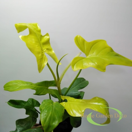 Philodendron yellow violin