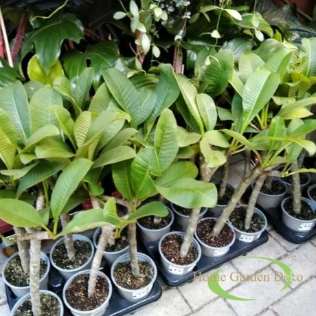Plumeria rubra Hawaiian Ruby